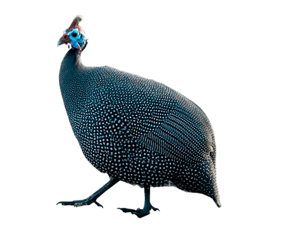 Foto-galinha-angola