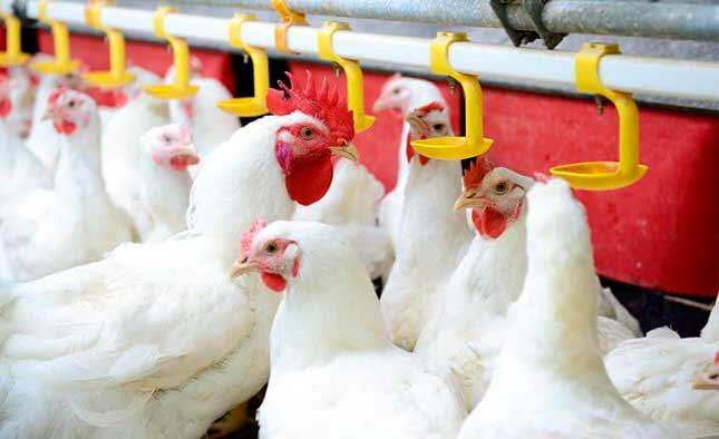 img-blog-historia-avicultura-frangos-brancos