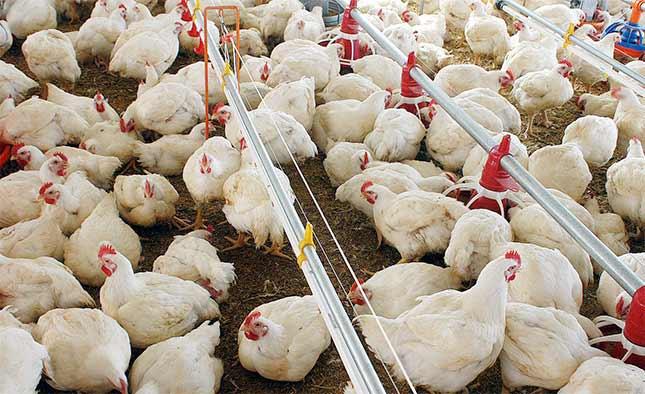 img-blog-historia-avicultura